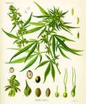 """Hanf - Cannabis sativa; Bildquelle: <a href=""""https://www.pflanzen-deutschland.de/quellen.php?bild_quelle=Wikipedia User Antonsusi"""">Wikipedia User Antonsusi</a>; Bildlizenz: <a href=""""https://creativecommons.org/licenses/publicdomain/deed.de"""" target=_blank title=""""Public Domain"""">Public Domain</a>;"""