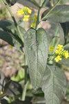 """Brauner Senf - Brassica juncea; Bildquelle: <a href=""""https://www.pflanzen-deutschland.de/quellen.php?bild_quelle=Wikipedia User Dalgial"""">Wikipedia User Dalgial</a>; Bildlizenz: <a href=""""https://creativecommons.org/licenses/by-sa/3.0/deed.de"""" target=_blank title=""""Namensnennung - Weitergabe unter gleichen Bedingungen 3.0 Unported (CC BY-SA 3.0)"""">CC BY-SA 3.0</a>;"""