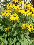 "Leuchtender Sonnenhut - Rudbeckia fulgida; Bildquelle: © <a href=""https://www.pflanzen-deutschland.de/quellen.php?bild_quelle=Bönisch 2009"">Bönisch 2009</a> - <b>All rights reserved</b>"