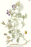 """Sand-Tragant - Astragalus arenarius; Bildquelle: <a href=""""https://www.pflanzen-deutschland.de/quellen.php?bild_quelle=Carl Axel Magnus Lindman Bilder ur Nordens Flora 1901-1905"""">Carl Axel Magnus Lindman Bilder ur Nordens Flora 1901-1905</a>; Bildlizenz: <a href=""""https://creativecommons.org/licenses/publicdomain/deed.de"""" target=_blank title=""""Public Domain"""">Public Domain</a>;"""