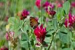 """Alpen-Süßklee - Hedysarum hedysaroides; Bildquelle: © <a href=""""https://www.pflanzen-deutschland.de/quellen.php?bild_quelle=Fabian Löffelmann,  Vielen Dank"""">Fabian Löffelmann,  Vielen Dank</a> - <b>All rights reserved</b>"""