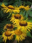 """Große Telekie - Telekia speciosa; Bildquelle: © <a href=""""https://www.pflanzen-deutschland.de/quellen.php?bild_quelle=Bönisch 2012"""">Bönisch 2012</a> - <b>All rights reserved</b>"""