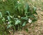 """Bergveilchen - Viola montana; Bildquelle: <a href=""""https://www.pflanzen-deutschland.de/quellen.php?bild_quelle=Wikipedia User Franz Xaver"""">Wikipedia User Franz Xaver</a>; Bildlizenz: <a href=""""https://creativecommons.org/licenses/by-sa/3.0/deed.de"""" target=_blank title=""""Namensnennung - Weitergabe unter gleichen Bedingungen 3.0 Unported (CC BY-SA 3.0)"""">CC BY-SA 3.0</a>; <br>Wiki Commons Bildbeschreibung: <a href=""""http://commons.wikimedia.org/wiki/File:Viola_canina_montana.jpg"""" target=_blank title=""""http://commons.wikimedia.org/wiki/File:Viola_canina_montana.jpg"""">http://commons.wikimedia.org/wiki/File:Viola_canina_montana.jpg</a>"""