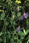 """Bunte Wicke - Vicia dasycarpa; Bildquelle: <a href=""""https://www.pflanzen-deutschland.de/quellen.php?bild_quelle=Wikipedia-User Fornax 1990"""">Wikipedia-User Fornax 1990</a>; Bildlizenz: <a href=""""https://creativecommons.org/licenses/by-sa/3.0/deed.de"""" target=_blank title=""""Namensnennung - Weitergabe unter gleichen Bedingungen 3.0 Unported (CC BY-SA 3.0)"""">CC BY-SA 3.0</a>;"""