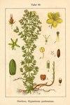 "Echtes Johanniskraut - Hypericum perforatum; Bildquelle: <a href=""https://www.pflanzen-deutschland.de/quellen.php?bild_quelle=Deutschlands Flora in Abbildungen 1796"">Deutschlands Flora in Abbildungen 1796</a>; Bildlizenz: <a href=""https://creativecommons.org/licenses/publicdomain/deed.de"" target=_blank title=""Public Domain"">Public Domain</a>;"