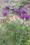 """Esparsetten-Tragant - Astragalus onobrychis; Bildquelle: <a href=""""https://www.pflanzen-deutschland.de/quellen.php?bild_quelle=Wikipedia User Averater"""">Wikipedia User Averater</a>; Bildlizenz: <a href=""""https://creativecommons.org/licenses/by-sa/3.0/deed.de"""" target=_blank title=""""Namensnennung - Weitergabe unter gleichen Bedingungen 3.0 Unported (CC BY-SA 3.0)"""">CC BY-SA 3.0</a>; <br>Wiki Commons Bildbeschreibung: <a href=""""https://commons.wikimedia.org/wiki/File:Astragalus_onobrychis_GotBot_2015_003.jpg"""" target=_blank title=""""https://commons.wikimedia.org/wiki/File:Astragalus_onobrychis_GotBot_2015_003.jpg"""">https://commons.wikimedia.org/wiki/File:Astragalus_onobrychis_GotBot_2015_003.jpg</a>"""