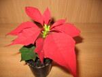 """Weihnachtsstern - Euphorbia pulcherrima; Bildquelle: <a href=""""https://www.pflanzen-deutschland.de/quellen.php?bild_quelle=Wikipedia User Insider"""">Wikipedia User Insider</a>; Bildlizenz: <a href=""""https://creativecommons.org/licenses/by-sa/3.0/deed.de"""" target=_blank title=""""Namensnennung - Weitergabe unter gleichen Bedingungen 3.0 Unported (CC BY-SA 3.0)"""">CC BY-SA 3.0</a>; <br>Wiki Commons Bildbeschreibung: <a href=""""https://commons.wikimedia.org/wiki/File:Euphorbia_pulcherrima_(2).jpg"""" target=_blank title=""""https://commons.wikimedia.org/wiki/File:Euphorbia_pulcherrima_(2).jpg"""">https://commons.wikimedia.org/wiki/File:Euphorbia_pulcherrima_(2).jpg</a>"""