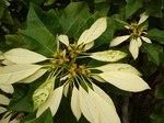 """Weihnachtsstern - Euphorbia pulcherrima; Bildquelle: <a href=""""https://www.pflanzen-deutschland.de/quellen.php?bild_quelle=Wikipedia User Tauolunga"""">Wikipedia User Tauolunga</a>; Bildlizenz: <a href=""""https://creativecommons.org/licenses/by-sa/3.0/deed.de"""" target=_blank title=""""Namensnennung - Weitergabe unter gleichen Bedingungen 3.0 Unported (CC BY-SA 3.0)"""">CC BY-SA 3.0</a>;"""