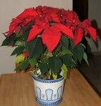 """Weihnachtsstern - Euphorbia pulcherrima; Bildquelle: <a href=""""https://www.pflanzen-deutschland.de/quellen.php?bild_quelle=Wikipedia User Twice25"""">Wikipedia User Twice25</a>; Bildlizenz: <a href=""""https://creativecommons.org/licenses/by-sa/3.0/deed.de"""" target=_blank title=""""Namensnennung - Weitergabe unter gleichen Bedingungen 3.0 Unported (CC BY-SA 3.0)"""">CC BY-SA 3.0</a>;"""