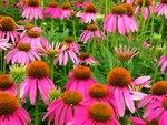 """Roter Sonnenhut - Echinacea purpurea; Bildquelle: <a href=""""https://www.pflanzen-deutschland.de/quellen.php?bild_quelle=Wikipedia User Raeky"""">Wikipedia User Raeky</a>; Bildlizenz: <a href=""""https://creativecommons.org/licenses/by-sa/3.0/deed.de"""" target=_blank title=""""Namensnennung - Weitergabe unter gleichen Bedingungen 3.0 Unported (CC BY-SA 3.0)"""">CC BY-SA 3.0</a>;"""