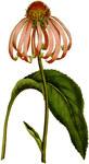 "Roter Sonnenhut - Echinacea purpurea; Bildquelle: <a href=""https://www.pflanzen-deutschland.de/quellen.php?bild_quelle=Curtiss Botanical Magazine, Volume 1."">Curtiss Botanical Magazine, Volume 1.</a>; Bildlizenz: <a href=""https://creativecommons.org/licenses/publicdomain/deed.de"" target=_blank title=""Public Domain"">Public Domain</a>;"