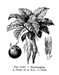 "Gemeine Alraune - Mandragora officinarum; Bildquelle: <a href=""https://www.pflanzen-deutschland.de/quellen.php?bild_quelle=Wikipedia User CostaPPPR"">Wikipedia User CostaPPPR</a>; Bildlizenz: <a href=""https://creativecommons.org/publicdomain/zero/1.0/deed.de"" target=_blank title=""CC0 1.0 Universell (CC0 1.0)"">CC0 1.0</a>; <br>Wiki Commons Bildbeschreibung: <a href=""https://commons.wikimedia.org/wiki/File:Mandragore-LarousseMedical.jpg"" target=_blank title=""https://commons.wikimedia.org/wiki/File:Mandragore-LarousseMedical.jpg"">https://commons.wikimedia.org/wiki/File:Mandragore-LarousseMedical.jpg</a>"