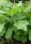 """Aubergine - Solanum melongena; Bildquelle: <a href=""""https://www.pflanzen-deutschland.de/quellen.php?bild_quelle=Wikipedia User Kenraiz"""">Wikipedia User Kenraiz</a>; Bildlizenz: <a href=""""https://creativecommons.org/licenses/by/4.0/deed.de"""" target=_blank title=""""Namensnennung 4.0 International (CC BY 4.0)"""">CC BY 4.0</a>; <br>Wiki Commons Bildbeschreibung: <a href=""""https://commons.wikimedia.org/wiki/File:Solanum_melongena_Black_Beauty_kz1.jpg"""" target=_blank title=""""https://commons.wikimedia.org/wiki/File:Solanum_melongena_Black_Beauty_kz1.jpg"""">https://commons.wikimedia.org/wiki/File:Solanum_melongena_Black_Beauty_kz1.jpg</a>"""