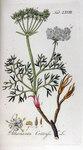 """Augenwurz - Athamanta cretensis; Bildquelle: <a href=""""https://www.pflanzen-deutschland.de/quellen.php?bild_quelle=Adolphus Ypey 1813"""">Adolphus Ypey 1813</a>; Bildlizenz: <a href=""""https://creativecommons.org/licenses/by-sa/3.0/deed.de"""" target=_blank title=""""Namensnennung - Weitergabe unter gleichen Bedingungen 3.0 Unported (CC BY-SA 3.0)"""">CC BY-SA 3.0</a>;"""