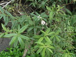 "Zitronenverbene - Aloysia citrodora; Bildquelle: <a href=""https://www.pflanzen-deutschland.de/quellen.php?bild_quelle=Wikipedia User Yercaud-elango"">Wikipedia User Yercaud-elango</a>; Bildlizenz: <a href=""https://creativecommons.org/licenses/by/4.0/deed.de"" target=_blank title=""Namensnennung 4.0 International (CC BY 4.0)"">CC BY 4.0</a>; <br>Wiki Commons Bildbeschreibung: <a href=""https://commons.wikimedia.org/wiki/File:Aloysia_citrodora-1-bhavanisingh-yercaud-salem-India.JPG"" target=_blank title=""https://commons.wikimedia.org/wiki/File:Aloysia_citrodora-1-bhavanisingh-yercaud-salem-India.JPG"">https://commons.wikimedia.org/wiki/File:Aloysia_citrodora-1-bhavanisingh-yercaud-salem-India.JPG</a>"