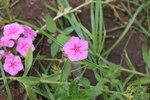 """Sommer-Phlox - Phlox drummondii; Bildquelle: <a href=""""https://www.pflanzen-deutschland.de/quellen.php?bild_quelle=Wikipedia User Varun saa"""">Wikipedia User Varun saa</a>; Bildlizenz: <a href=""""https://creativecommons.org/licenses/by/4.0/deed.de"""" target=_blank title=""""Namensnennung 4.0 International (CC BY 4.0)"""">CC BY 4.0</a>; <br>Wiki Commons Bildbeschreibung: <a href=""""https://commons.wikimedia.org/wiki/File:Phlox_drummondii-12.JPG"""" target=_blank title=""""https://commons.wikimedia.org/wiki/File:Phlox_drummondii-12.JPG"""">https://commons.wikimedia.org/wiki/File:Phlox_drummondii-12.JPG</a>"""