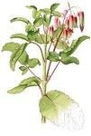 """Gefiedertes Brutblatt - Kalanchoe pinnata; Bildquelle: <a href=""""https://www.pflanzen-deutschland.de/quellen.php?bild_quelle=Flora de Filipinas"""">Flora de Filipinas</a>; Bildlizenz: <a href=""""https://creativecommons.org/licenses/by-sa/3.0/deed.de"""" target=_blank title=""""Namensnennung - Weitergabe unter gleichen Bedingungen 3.0 Unported (CC BY-SA 3.0)"""">CC BY-SA 3.0</a>;"""