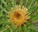 """Akanthusblättrige Eberwurz - Carlina acanthifolia; Bildquelle: <a href=""""https://www.pflanzen-deutschland.de/quellen.php?bild_quelle=Wikipedia User File Upload Bot Magnus Manske"""">Wikipedia User File Upload Bot Magnus Manske</a>; Bildlizenz: <a href=""""https://creativecommons.org/licenses/by-sa/3.0/deed.de"""" target=_blank title=""""Namensnennung - Weitergabe unter gleichen Bedingungen 3.0 Unported (CC BY-SA 3.0)"""">CC BY-SA 3.0</a>;"""