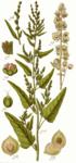 """Garten-Melde - Atriplex hortensis; Bildquelle: <a href=""""https://www.pflanzen-deutschland.de/quellen.php?bild_quelle=Deutschlands Flora in Abbildungen, Johann Georg Sturm 1796"""">Deutschlands Flora in Abbildungen, Johann Georg Sturm 1796</a>; Bildlizenz: <a href=""""https://creativecommons.org/licenses/publicdomain/deed.de"""" target=_blank title=""""Public Domain"""">Public Domain</a>;"""