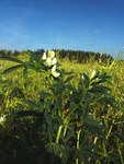 """Weiße Lupine - Lupinus albus; Bildquelle: © <a href=""""https://www.pflanzen-deutschland.de/quellen.php?bild_quelle=Schultes 2009"""">Schultes 2009</a> - <b>All rights reserved</b>"""
