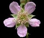 """Brombeeren - Rubus sectio Rubus; Bildquelle: <a href=""""https://www.pflanzen-deutschland.de/quellen.php?bild_quelle=Wikipedia User Ies"""">Wikipedia User Ies</a>; Bildlizenz: <a href=""""https://creativecommons.org/licenses/by-sa/3.0/deed.de"""" target=_blank title=""""Namensnennung - Weitergabe unter gleichen Bedingungen 3.0 Unported (CC BY-SA 3.0)"""">CC BY-SA 3.0</a>;"""