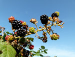 "Brombeeren - Rubus sectio Rubus; Bildquelle: <a href=""https://www.pflanzen-deutschland.de/quellen.php?bild_quelle=Wikipedia User NorbertNagel"">Wikipedia User NorbertNagel</a>; Bildlizenz: <a href=""https://creativecommons.org/licenses/by-sa/3.0/deed.de"" target=_blank title=""Namensnennung - Weitergabe unter gleichen Bedingungen 3.0 Unported (CC BY-SA 3.0)"">CC BY-SA 3.0</a>; <br>Wiki Commons Bildbeschreibung: <a href=""https://commons.wikimedia.org/wiki/File:Rubus_-_blackberry_-_Brombeere.jpg"" target=_blank title=""https://commons.wikimedia.org/wiki/File:Rubus_-_blackberry_-_Brombeere.jpg"">https://commons.wikimedia.org/wiki/File:Rubus_-_blackberry_-_Brombeere.jpg</a>"