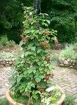 """Brombeeren - Rubus sectio Rubus; Bildquelle: <a href=""""https://www.pflanzen-deutschland.de/quellen.php?bild_quelle=Wikipedia User KENPEI"""">Wikipedia User KENPEI</a>; Bildlizenz: <a href=""""https://creativecommons.org/licenses/by-sa/3.0/deed.de"""" target=_blank title=""""Namensnennung - Weitergabe unter gleichen Bedingungen 3.0 Unported (CC BY-SA 3.0)"""">CC BY-SA 3.0</a>;"""
