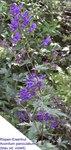 """Gewöhnlicher Rispen-Eisenhut - Aconitum degenii subsp. paniculatum; Bildquelle: <a href=""""https://www.pflanzen-deutschland.de/quellen.php?bild_quelle=Wikipedia User Rillke"""">Wikipedia User Rillke</a>; Bildlizenz: <a href=""""https://creativecommons.org/licenses/by-sa/3.0/deed.de"""" target=_blank title=""""Namensnennung - Weitergabe unter gleichen Bedingungen 3.0 Unported (CC BY-SA 3.0)"""">CC BY-SA 3.0</a>;"""