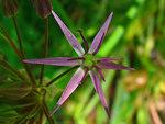 """Stern-Kugellauch - Allium cristophii; Bildquelle: <a href=""""https://www.pflanzen-deutschland.de/quellen.php?bild_quelle=Wikipedia User Llez"""">Wikipedia User Llez</a>; Bildlizenz: <a href=""""https://creativecommons.org/licenses/by-sa/3.0/deed.de"""" target=_blank title=""""Namensnennung - Weitergabe unter gleichen Bedingungen 3.0 Unported (CC BY-SA 3.0)"""">CC BY-SA 3.0</a>;"""