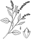 "Liegender Fuchsschwanz - Amaranthus deflexus; Bildquelle: <a href=""https://www.pflanzen-deutschland.de/quellen.php?bild_quelle=Britton, N.L., and A. Brown. 1913"">Britton, N.L., and A. Brown. 1913</a>; Bildlizenz: <a href=""https://creativecommons.org/licenses/by-sa/3.0/deed.de"" target=_blank title=""Namensnennung - Weitergabe unter gleichen Bedingungen 3.0 Unported (CC BY-SA 3.0)"">CC BY-SA 3.0</a>; <br>Wiki Commons Bildbeschreibung: <a href=""https://commons.wikimedia.org/wiki/File:Amaranthus_deflexus_BB-1913.png"" target=_blank title=""https://commons.wikimedia.org/wiki/File:Amaranthus_deflexus_BB-1913.png"">https://commons.wikimedia.org/wiki/File:Amaranthus_deflexus_BB-1913.png</a>"