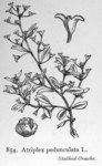 "Gestielte Keilmelde - Atriplex pedunculata; Bildquelle: <a href=""https://www.pflanzen-deutschland.de/quellen.php?bild_quelle=Illustrations of the British Flora 1924 - Walter Hood Fitch"">Illustrations of the British Flora 1924 - Walter Hood Fitch</a>; Bildlizenz: <a href=""https://creativecommons.org/licenses/publicdomain/deed.de"" target=_blank title=""Public Domain"">Public Domain</a>;"