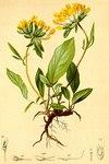 """Alpen-Wundklee - Anthyllis vulneraria subsp. alpestris; Bildquelle: <a href=""""https://www.pflanzen-deutschland.de/quellen.php?bild_quelle=Atlas der Alpenflora. Anton Hartinger 1882"""">Atlas der Alpenflora. Anton Hartinger 1882</a>; Bildlizenz: <a href=""""https://creativecommons.org/licenses/publicdomain/deed.de"""" target=_blank title=""""Public Domain"""">Public Domain</a>;"""