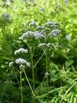 """Echter Arznei-Baldrian - Valeriana officinalis; Bildquelle: © <a href=""""https://www.pflanzen-deutschland.de/quellen.php?bild_quelle=Bönisch 2011"""">Bönisch 2011</a> - <b>All rights reserved</b>"""