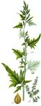 """Glanz-Melde - Atriplex sagittata; Bildquelle: <a href=""""https://www.pflanzen-deutschland.de/quellen.php?bild_quelle=Deutschlands Flora in Abbildungen, Johann Georg Sturm 1796"""">Deutschlands Flora in Abbildungen, Johann Georg Sturm 1796</a>; Bildlizenz: <a href=""""https://creativecommons.org/licenses/publicdomain/deed.de"""" target=_blank title=""""Public Domain"""">Public Domain</a>;"""