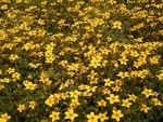"Gold-Zweizahn - Bidens ferulifolia; Bildquelle: <a href=""https://www.pflanzen-deutschland.de/quellen.php?bild_quelle=Wikipedia User Ies"">Wikipedia User Ies</a>; Bildlizenz: <a href=""https://creativecommons.org/licenses/by-sa/3.0/deed.de"" target=_blank title=""Namensnennung - Weitergabe unter gleichen Bedingungen 3.0 Unported (CC BY-SA 3.0)"">CC BY-SA 3.0</a>;"