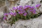 """Kleiner Orant - Chaenorhinum origanifolium; Bildquelle: <a href=""""https://www.pflanzen-deutschland.de/quellen.php?bild_quelle=Wikipedia User Cptcv"""">Wikipedia User Cptcv</a>; Bildlizenz: <a href=""""https://creativecommons.org/licenses/by-sa/3.0/deed.de"""" target=_blank title=""""Namensnennung - Weitergabe unter gleichen Bedingungen 3.0 Unported (CC BY-SA 3.0)"""">CC BY-SA 3.0</a>; <br>Wiki Commons Bildbeschreibung: <a href=""""https://commons.wikimedia.org/wiki/File:Chaenorrhinum_origanifolium.jpg"""" target=_blank title=""""https://commons.wikimedia.org/wiki/File:Chaenorrhinum_origanifolium.jpg"""">https://commons.wikimedia.org/wiki/File:Chaenorrhinum_origanifolium.jpg</a>"""