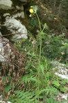 """Klebrige Kratzdistel - Cirsium erisithales; Bildquelle: <a href=""""https://www.pflanzen-deutschland.de/quellen.php?bild_quelle=Wikipedia User Sporti"""">Wikipedia User Sporti</a>; Bildlizenz: <a href=""""https://creativecommons.org/licenses/by-sa/3.0/deed.de"""" target=_blank title=""""Namensnennung - Weitergabe unter gleichen Bedingungen 3.0 Unported (CC BY-SA 3.0)"""">CC BY-SA 3.0</a>; <br>Wiki Commons Bildbeschreibung: <a href=""""https://commons.wikimedia.org/wiki/File:Cirsium_erisithales_PID963-2.jpg"""" target=_blank title=""""https://commons.wikimedia.org/wiki/File:Cirsium_erisithales_PID963-2.jpg"""">https://commons.wikimedia.org/wiki/File:Cirsium_erisithales_PID963-2.jpg</a>"""