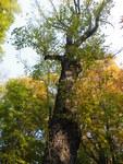"Baum-Hasel - Corylus colurna; Bildquelle: <a href=""https://www.pflanzen-deutschland.de/quellen.php?bild_quelle=Wikipedia User Marrrrrra"">Wikipedia User Marrrrrra</a>; Bildlizenz: <a href=""https://creativecommons.org/licenses/by/4.0/deed.de"" target=_blank title=""Namensnennung 4.0 International (CC BY 4.0)"">CC BY 4.0</a>; <br>Wiki Commons Bildbeschreibung: <a href=""https://commons.wikimedia.org/wiki/File:Corylus_colurna_(113).JPG"" target=_blank title=""https://commons.wikimedia.org/wiki/File:Corylus_colurna_(113).JPG"">https://commons.wikimedia.org/wiki/File:Corylus_colurna_(113).JPG</a>"