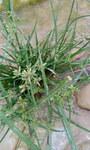 """Rund-Zypergras - Cyperus rotundus; Bildquelle: <a href=""""https://www.pflanzen-deutschland.de/quellen.php?bild_quelle=Wikipedia User Sabamohammad"""">Wikipedia User Sabamohammad</a>; Bildlizenz: <a href=""""https://creativecommons.org/licenses/by/4.0/deed.de"""" target=_blank title=""""Namensnennung 4.0 International (CC BY 4.0)"""">CC BY 4.0</a>; <br>Wiki Commons Bildbeschreibung: <a href=""""https://commons.wikimedia.org/wiki/File:Cyperus_rotundus_L_02.jpg"""" target=_blank title=""""https://commons.wikimedia.org/wiki/File:Cyperus_rotundus_L_02.jpg"""">https://commons.wikimedia.org/wiki/File:Cyperus_rotundus_L_02.jpg</a>"""