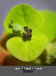 "Kanten-Wolfsmilch - Euphorbia angulata; Bildquelle: <a href=""https://www.pflanzen-deutschland.de/quellen.php?bild_quelle=Wikipedia User Stefan.lefnaer"">Wikipedia User Stefan.lefnaer</a>; Bildlizenz: <a href=""https://creativecommons.org/licenses/by/4.0/deed.de"" target=_blank title=""Namensnennung 4.0 International (CC BY 4.0)"">CC BY 4.0</a>; <br>Wiki Commons Bildbeschreibung: <a href=""https://commons.wikimedia.org/wiki/File:Euphorbia_angulata_sl10.jpg"" target=_blank title=""https://commons.wikimedia.org/wiki/File:Euphorbia_angulata_sl10.jpg"">https://commons.wikimedia.org/wiki/File:Euphorbia_angulata_sl10.jpg</a>"