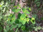 "Kanten-Wolfsmilch - Euphorbia angulata; Bildquelle: <a href=""https://www.pflanzen-deutschland.de/quellen.php?bild_quelle=Wikipedia User Stefan.lefnaer"">Wikipedia User Stefan.lefnaer</a>; Bildlizenz: <a href=""https://creativecommons.org/licenses/by/4.0/deed.de"" target=_blank title=""Namensnennung 4.0 International (CC BY 4.0)"">CC BY 4.0</a>; <br>Wiki Commons Bildbeschreibung: <a href=""https://commons.wikimedia.org/wiki/File:Euphorbia_angulata_sl12.jpg"" target=_blank title=""https://commons.wikimedia.org/wiki/File:Euphorbia_angulata_sl12.jpg"">https://commons.wikimedia.org/wiki/File:Euphorbia_angulata_sl12.jpg</a>"
