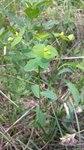 """Kanten-Wolfsmilch - Euphorbia angulata; Bildquelle: <a href=""""https://www.pflanzen-deutschland.de/quellen.php?bild_quelle=Wikipedia User Stefan.lefnaer"""">Wikipedia User Stefan.lefnaer</a>; Bildlizenz: <a href=""""https://creativecommons.org/licenses/by-sa/3.0/deed.de"""" target=_blank title=""""Namensnennung - Weitergabe unter gleichen Bedingungen 3.0 Unported (CC BY-SA 3.0)"""">CC BY-SA 3.0</a>; <br>Wiki Commons Bildbeschreibung: <a href=""""https://commons.wikimedia.org/wiki/File:Euphorbia_angulata_sl2.jpg"""" target=_blank title=""""https://commons.wikimedia.org/wiki/File:Euphorbia_angulata_sl2.jpg"""">https://commons.wikimedia.org/wiki/File:Euphorbia_angulata_sl2.jpg</a>"""