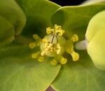 """Kreuzblättrige Wolfsmilch - Euphorbia lathyris; Bildquelle: <a href=""""https://www.pflanzen-deutschland.de/quellen.php?bild_quelle=Wikipedia User Ies"""">Wikipedia User Ies</a>; Bildlizenz: <a href=""""https://creativecommons.org/licenses/by-sa/3.0/deed.de"""" target=_blank title=""""Namensnennung - Weitergabe unter gleichen Bedingungen 3.0 Unported (CC BY-SA 3.0)"""">CC BY-SA 3.0</a>; <br>Wiki Commons Bildbeschreibung: <a href=""""https://commons.wikimedia.org/wiki/File:Euphorbia_lathyris5_ies.jpg"""" target=_blank title=""""https://commons.wikimedia.org/wiki/File:Euphorbia_lathyris5_ies.jpg"""">https://commons.wikimedia.org/wiki/File:Euphorbia_lathyris5_ies.jpg</a>"""