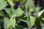 """Kreuzbblättrige Wolfsmilch - Euphorbia lathyris; Bildquelle: <a href=""""https://www.pflanzen-deutschland.de/quellen.php?bild_quelle=Wikipedia User Snorski"""">Wikipedia User Snorski</a>; Bildlizenz: <a href=""""https://creativecommons.org/licenses/by-sa/3.0/deed.de"""" target=_blank title=""""Namensnennung - Weitergabe unter gleichen Bedingungen 3.0 Unported (CC BY-SA 3.0)"""">CC BY-SA 3.0</a>; <br>Wiki Commons Bildbeschreibung: <a href=""""https://commons.wikimedia.org/wiki/File:Euphorbia_lathyris.jpg"""" target=_blank title=""""https://commons.wikimedia.org/wiki/File:Euphorbia_lathyris.jpg"""">https://commons.wikimedia.org/wiki/File:Euphorbia_lathyris.jpg</a>"""