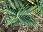 """Kreuzbblättrige Wolfsmilch - Euphorbia lathyris; Bildquelle: <a href=""""https://www.pflanzen-deutschland.de/quellen.php?bild_quelle=Wikipedia User Christer T Johansson"""">Wikipedia User Christer T Johansson</a>; Bildlizenz: <a href=""""https://creativecommons.org/licenses/by-sa/3.0/deed.de"""" target=_blank title=""""Namensnennung - Weitergabe unter gleichen Bedingungen 3.0 Unported (CC BY-SA 3.0)"""">CC BY-SA 3.0</a>; <br>Wiki Commons Bildbeschreibung: <a href=""""https://commons.wikimedia.org/wiki/File:Euphorbia_lathyris-IMG_9398.jpg"""" target=_blank title=""""https://commons.wikimedia.org/wiki/File:Euphorbia_lathyris-IMG_9398.jpg"""">https://commons.wikimedia.org/wiki/File:Euphorbia_lathyris-IMG_9398.jpg</a>"""