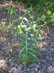"""Kreuzbblättrige Wolfsmilch - Euphorbia lathyris; Bildquelle: <a href=""""https://www.pflanzen-deutschland.de/quellen.php?bild_quelle=Wikipedia User Tigerente"""">Wikipedia User Tigerente</a>; Bildlizenz: <a href=""""https://creativecommons.org/licenses/by-sa/3.0/deed.de"""" target=_blank title=""""Namensnennung - Weitergabe unter gleichen Bedingungen 3.0 Unported (CC BY-SA 3.0)"""">CC BY-SA 3.0</a>; <br>Wiki Commons Bildbeschreibung: <a href=""""https://commons.wikimedia.org/wiki/File:Euphorbia_lathyris_corse.jpg"""" target=_blank title=""""https://commons.wikimedia.org/wiki/File:Euphorbia_lathyris_corse.jpg"""">https://commons.wikimedia.org/wiki/File:Euphorbia_lathyris_corse.jpg</a>"""