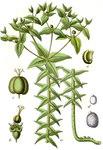 """Kreuzbblättrige Wolfsmilch - Euphorbia lathyris; Bildquelle: <a href=""""https://www.pflanzen-deutschland.de/quellen.php?bild_quelle=Wikipedia User Finavon"""">Wikipedia User Finavon</a>; Bildlizenz: <a href=""""https://creativecommons.org/licenses/by-sa/3.0/deed.de"""" target=_blank title=""""Namensnennung - Weitergabe unter gleichen Bedingungen 3.0 Unported (CC BY-SA 3.0)"""">CC BY-SA 3.0</a>; <br>Wiki Commons Bildbeschreibung: <a href=""""https://commons.wikimedia.org/wiki/File:Euphorbia_lathyris_Sturm33.jpg"""" target=_blank title=""""https://commons.wikimedia.org/wiki/File:Euphorbia_lathyris_Sturm33.jpg"""">https://commons.wikimedia.org/wiki/File:Euphorbia_lathyris_Sturm33.jpg</a>"""