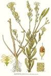 "Graukresse - Berteroa incana; Bildquelle: <a href=""https://www.pflanzen-deutschland.de/quellen.php?bild_quelle=Carl Axel Magnus Lindman Bilder ur Nordens Flora 1901-1905"">Carl Axel Magnus Lindman Bilder ur Nordens Flora 1901-1905</a>; Bildlizenz: <a href=""https://creativecommons.org/licenses/publicdomain/deed.de"" target=_blank title=""Public Domain"">Public Domain</a>;"