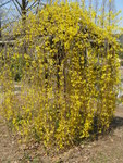 "Hänge-Forsythie - Forsythia suspensa; Bildquelle: <a href=""https://www.pflanzen-deutschland.de/quellen.php?bild_quelle=Wikipedia User KENPEI"">Wikipedia User KENPEI</a>; Bildlizenz: <a href=""https://creativecommons.org/licenses/by-sa/3.0/deed.de"" target=_blank title=""Namensnennung - Weitergabe unter gleichen Bedingungen 3.0 Unported (CC BY-SA 3.0)"">CC BY-SA 3.0</a>;"