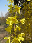 "Hänge-Forsythie - Forsythia suspensa; Bildquelle: <a href=""https://www.pflanzen-deutschland.de/quellen.php?bild_quelle=Wikipedia User KENPEI"">Wikipedia User KENPEI</a>; Bildlizenz: <a href=""https://creativecommons.org/licenses/by-sa/3.0/deed.de"" target=_blank title=""Namensnennung - Weitergabe unter gleichen Bedingungen 3.0 Unported (CC BY-SA 3.0)"">CC BY-SA 3.0</a>; <br>Wiki Commons Bildbeschreibung: <a href=""https://commons.wikimedia.org/wiki/File:Forsythia_suspensa4.jpg"" target=_blank title=""https://commons.wikimedia.org/wiki/File:Forsythia_suspensa4.jpg"">https://commons.wikimedia.org/wiki/File:Forsythia_suspensa4.jpg</a>"